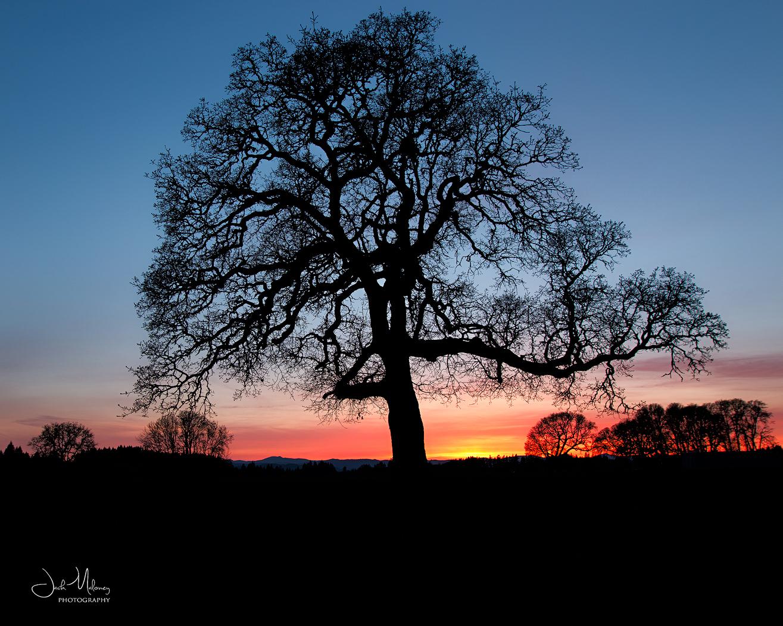 Oak Sunset