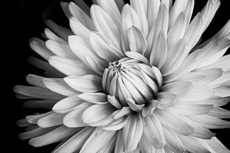 Black & White Dahlia